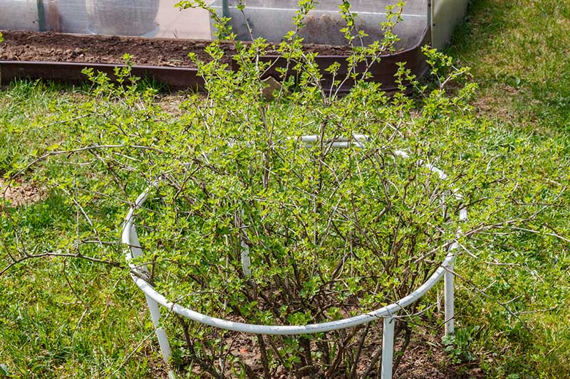 A young Ribes uva-crispa growing in the garden, protected with a metal cage around it, surrounded by lawn, with a wooden fence in the background.