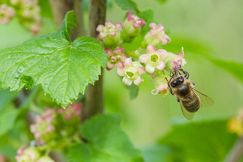 A close up of the flowers of Ribes uva-crispa, with a bee feeding on the nectar, with foliage in soft focus in the background.