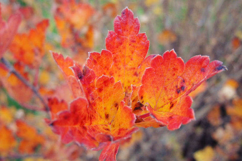 A close up of the foliage of Ribes uva-crispa with autumnal colors of red and orange, pictured on a soft focus background.