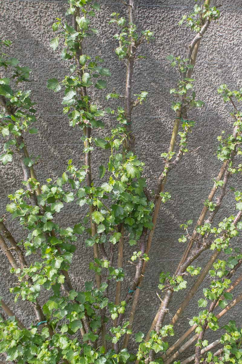 A vertical picture of a Ribes uva-crispa trained up a concrete wall, with straight, upright canes with foliage.