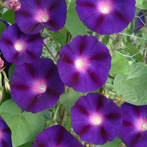 A close up of the dark purple, bicolored flowers of 'Grandpa Ott' morning glory, with foliage in the background.