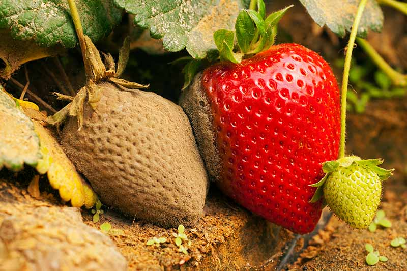 A close up of strawberries growing in the garden, the one on the left is infected by Botrytis and is covered in a gray mold that is spreading to the ripe fruit beside it.