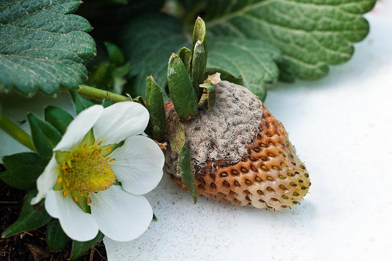 A close up of an unripe strawberry suffering from Botrytis fungal infection, on a white background. To the left of the frame is a small flower with a developing fruit.