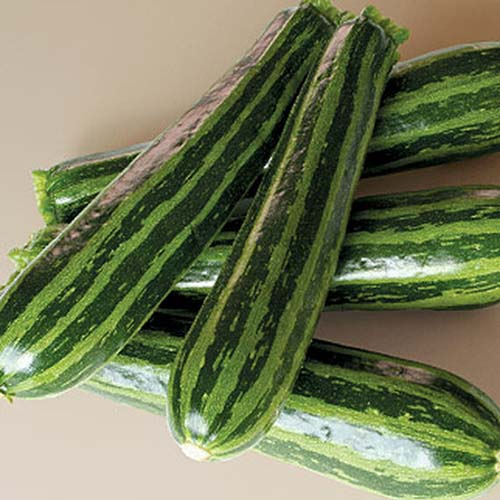 A close up of the striped fruits of 'Green Tiger,' a summer squash variety set on a light colored surface.