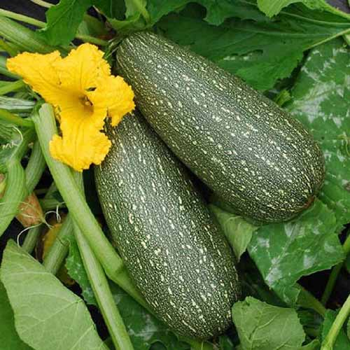 A close up of the ripe fruits of 'Grey' zucchini growing in the garden with a flower to the left of the frame and foliage in the background.