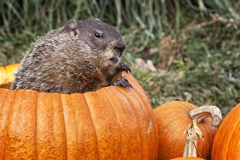 A close up of a naughty groundhog making himself at home in a hollowed out pumpkin, pictured on a soft focus background.