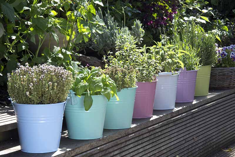 A close up of a set of different colored metal pots growing herbs outdoors on a patio, pictured in light filtered sunshine.