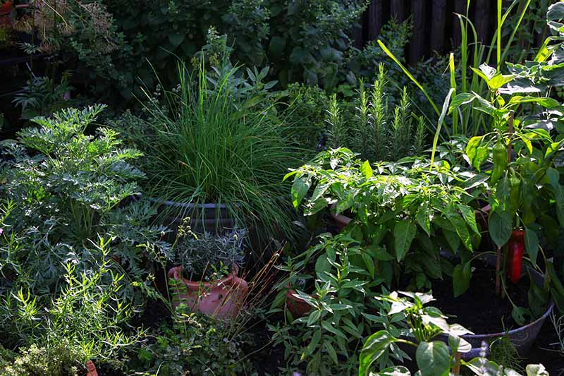 A container herb garden pictured in light filtered sunshine on a summer evening.