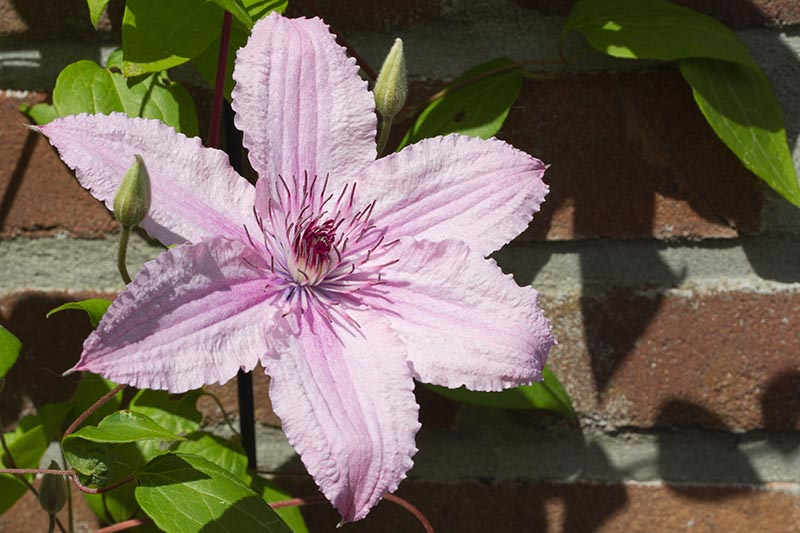 A close up of a pink flower with ruffled edges of the 'Hagley Hybrid' vining clematis. Pictured in bright sunshine, the vine is climbing up a brick wall.