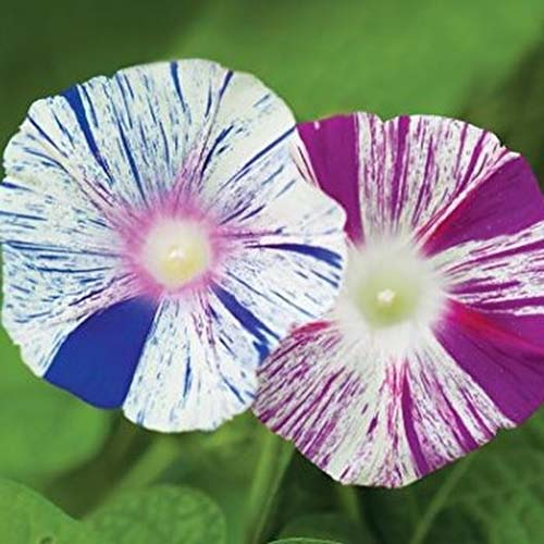 A close up of two bicolored morning glory flowers pictured on a soft focus green background.