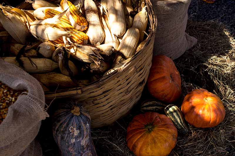 A close up of a basket containing freshly harvested corn, with gourds set on the ground around it.