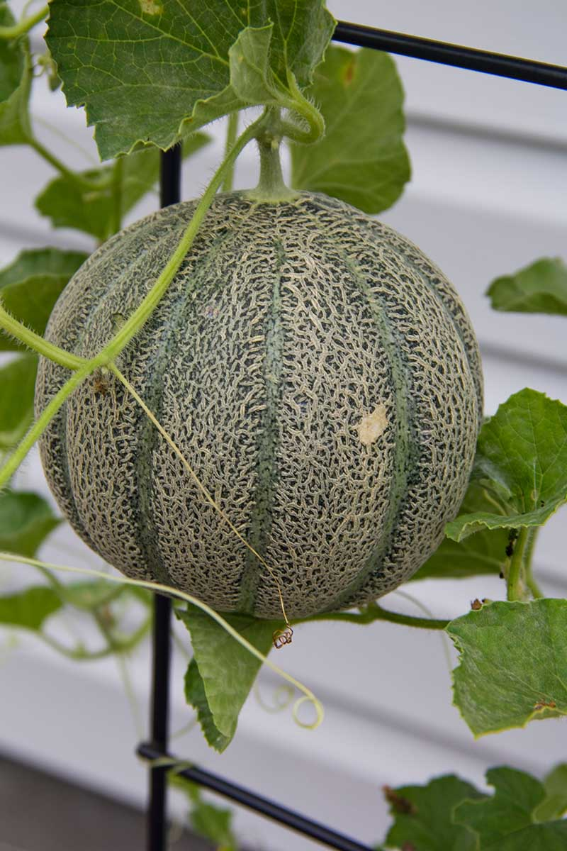 A close up vertical picture of a cantaloupe melon growing up a metal trellis with a white wall in the background, making it very easy to harvest the fruit.