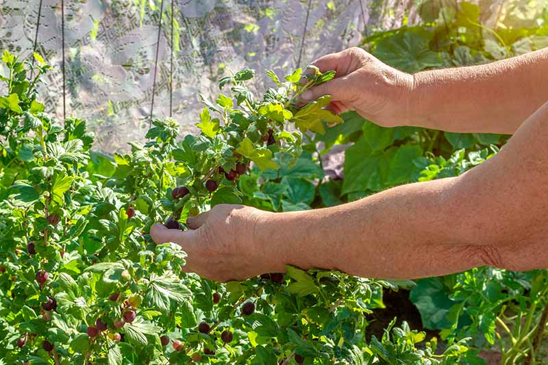 A close up of two hands from the right of the frame carefully picking ripe, red berries from Ribes uva-crispa, growing in the garden. Light sunshine gives way to a soft focus background.