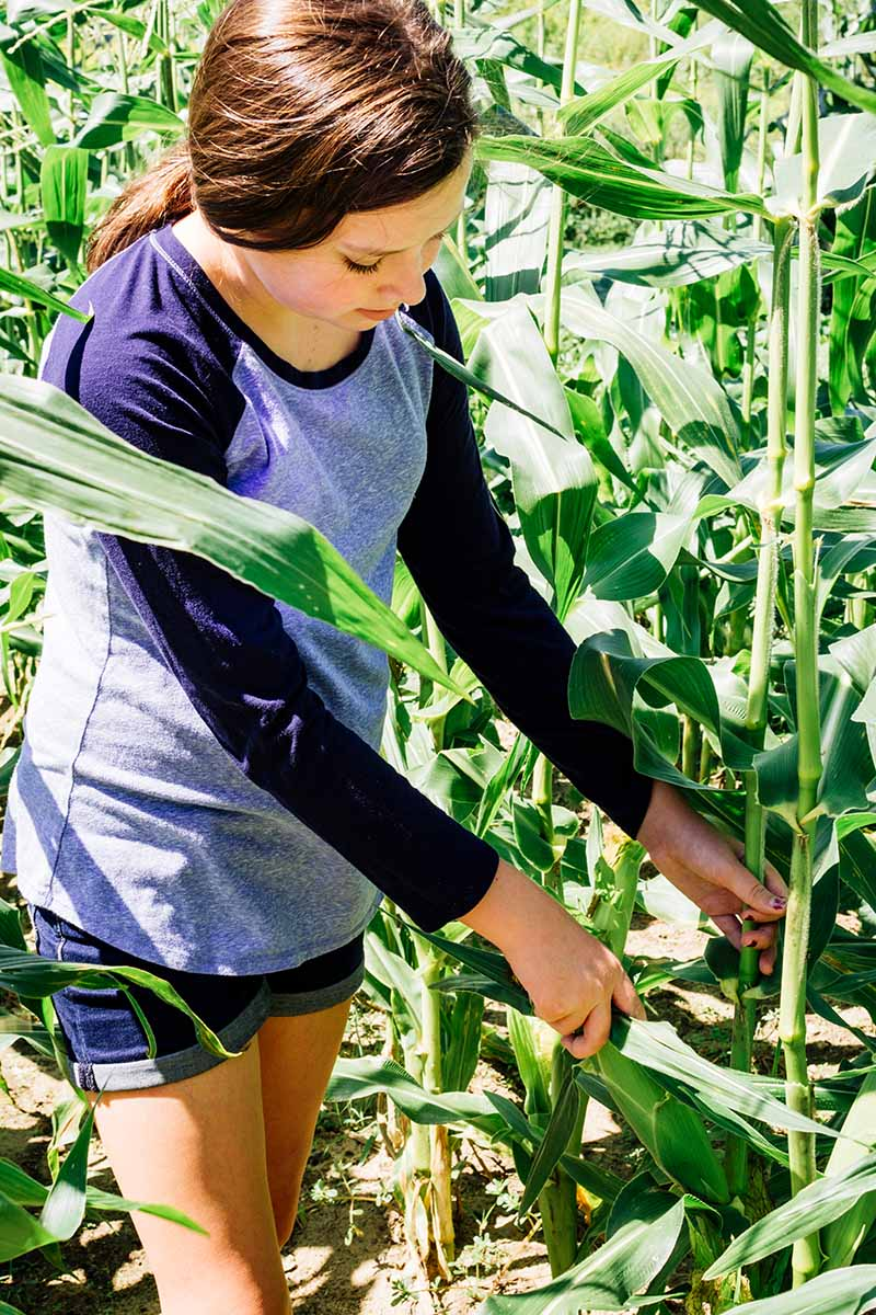 A vertical picture of a young woman pulling off an ear of corn from the stalk in the middle of a maize field. Pictured in bright sunshine.
