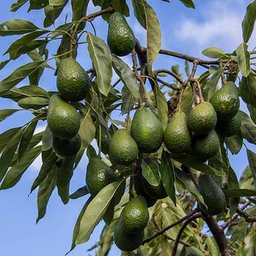A close up of a branch of a mature avocado tree laden with ripe fruits against a blue sky background.