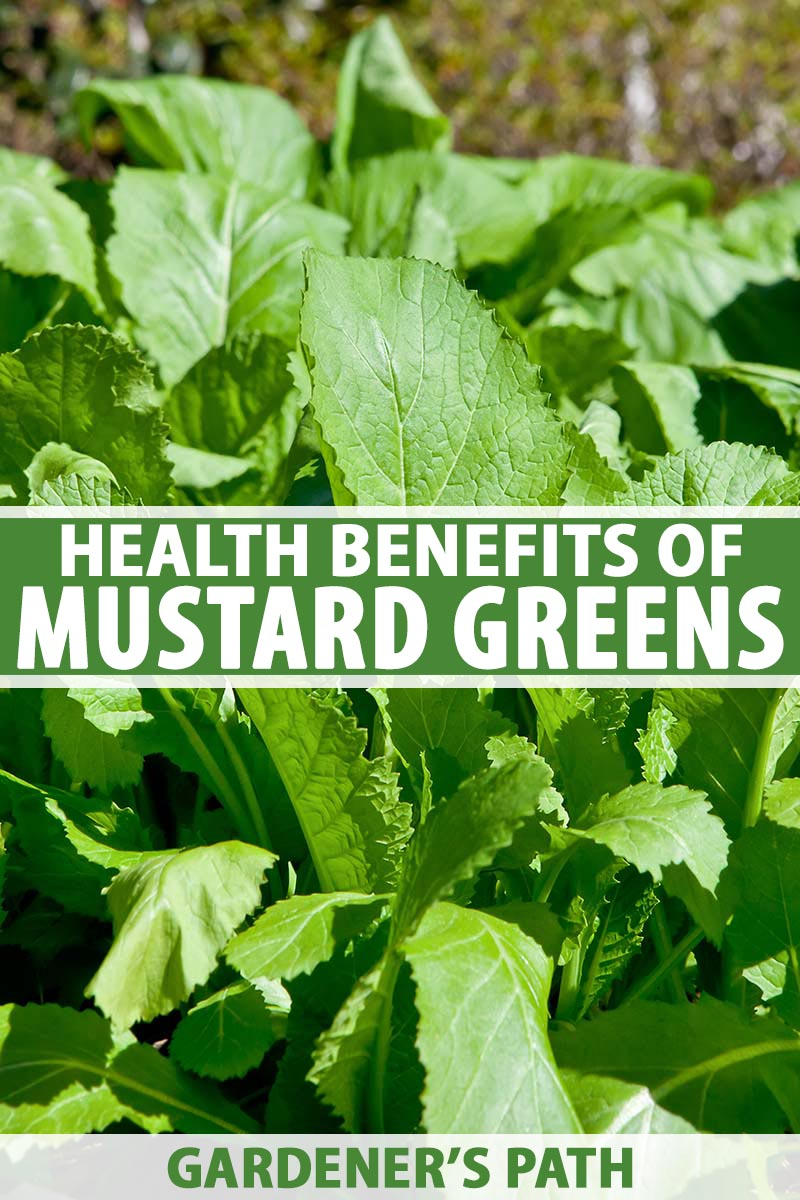 A vertical close up picture of mustard greens growing in the garden in the bright sunshine. To the center and bottom of the frame is green and white text.