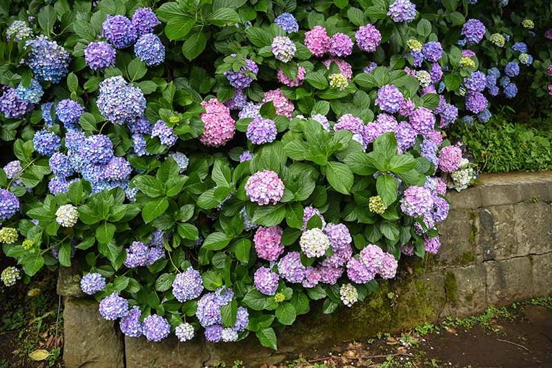 A close up of a large hydrangea growing behind a concrete retaining wall, with pink and blue flowers and bright green foliage.