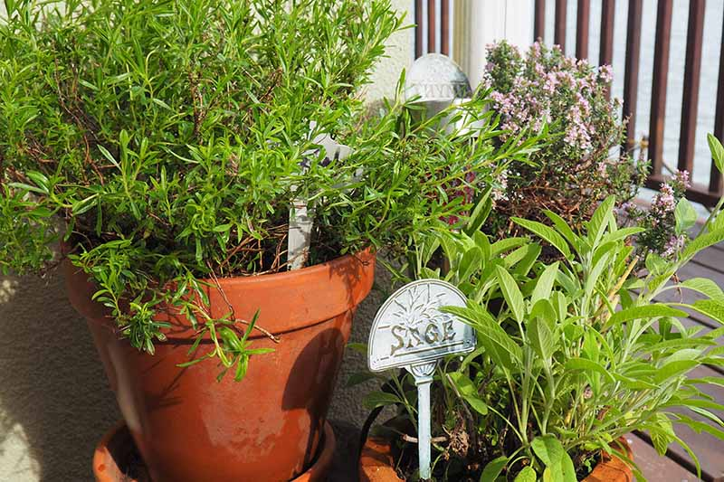 A variety of different herbs growing in terra cotta pots on a balcony, pictured in bright sunshine.