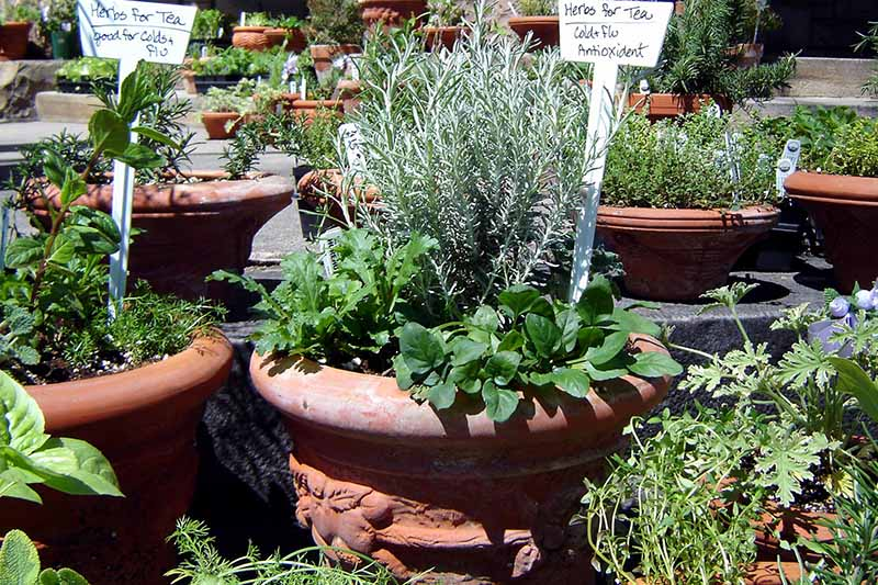 A close up of a variety of terra cotta pots growing herbs in the bright sunshine.