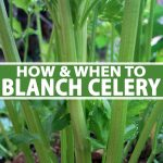 A vertical close up picture of celery growing in the garden with bright green stalks and foliage. To the center and bottom of the frame is green and white text.
