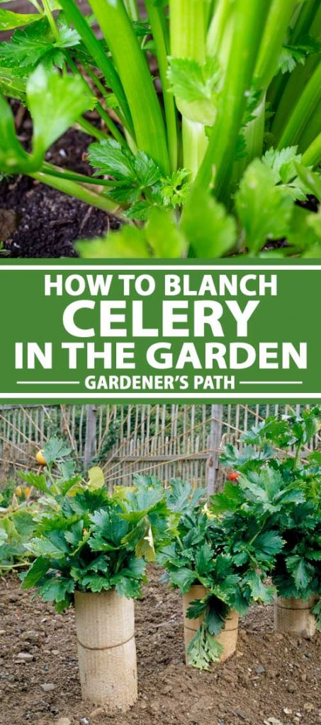 A college of photos showing celery being blanched while growing in a vegetable garden.