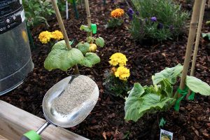 How and When to Fertilize Your Pumpkin Plants