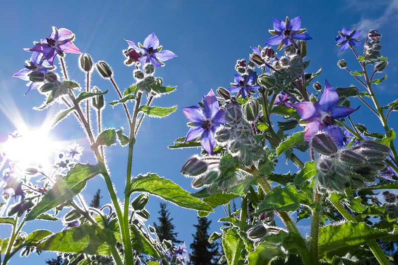 A close up of a mature Borago officinalis plant with delicate blue, star-shaped flowers growing in the garden with blue sky and sunshine in the background.