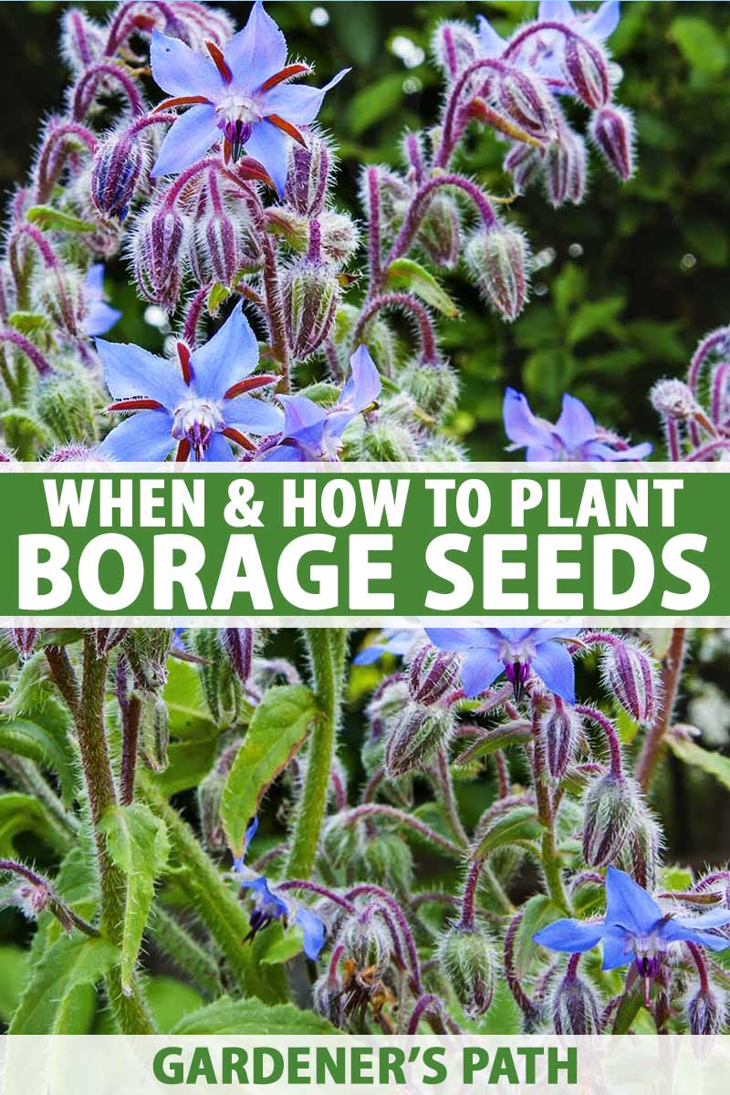 A close up, vertical picture of a mature borage plant growing in the garden, with delicate, star-shaped blue flowers on purple stems, surrounded by foliage pictured on a soft focus background. To the center and bottom of the frame is green and white text.