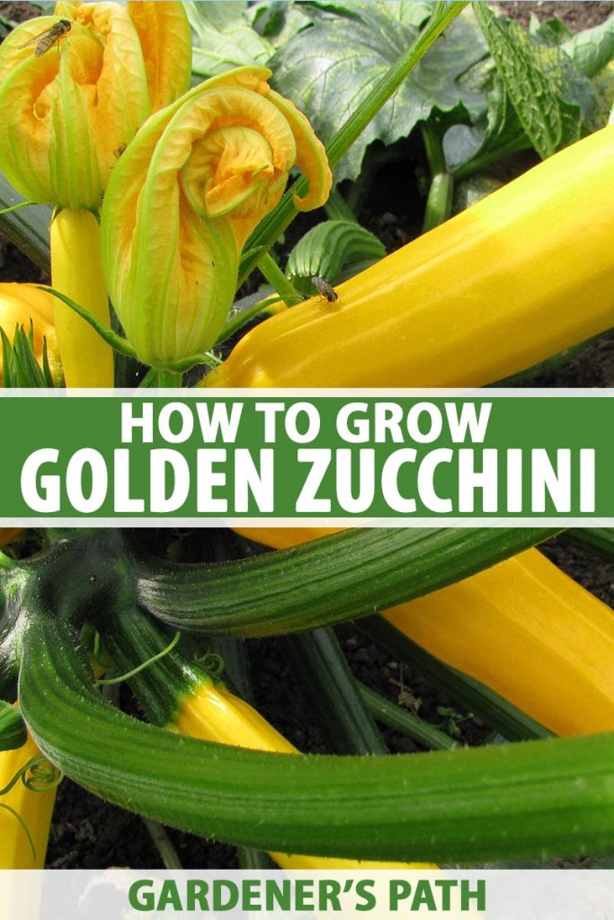 A vertical close up picture of golden zucchini growing in the garden, with ripe fruits and yellow flowers. To the center and bottom of the frame is green and white text.