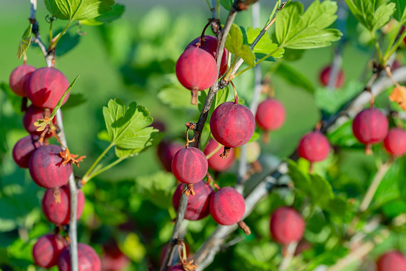 A close up of bright red gooseberries growing on upright canes, pictured in bright sunshine, on a soft focus background.