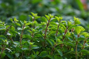 How to Plant and Grow Marjoram in Your Herb Garden