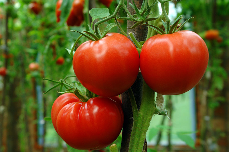 A close up of three ripe tomatoes growing in the garden pictured on a soft focus background.