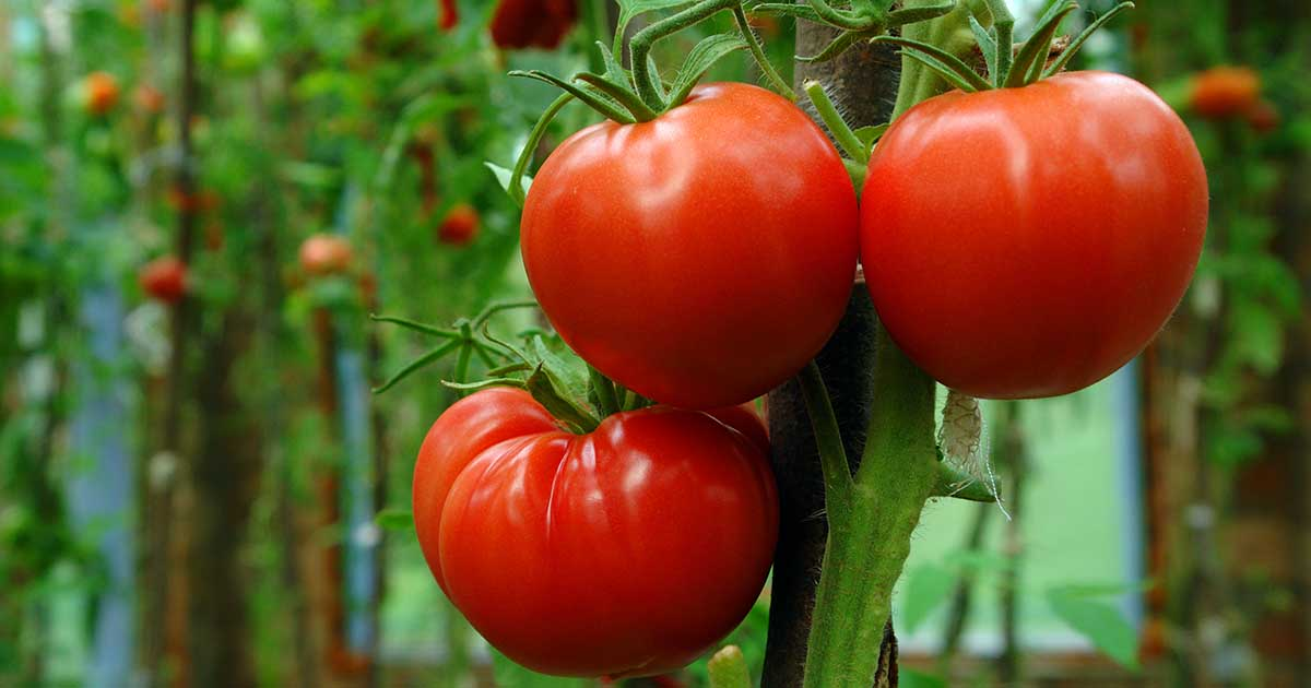 Learn How To Grow The Best Tomatoes Gardener S Path
