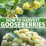 A vertical picture of a branch of ripe gooseberries at the top of the frame, and a small purple bowl at the bottom of the frame containing freshly harvested fruits. To the center and bottom of the frame is green and white text.