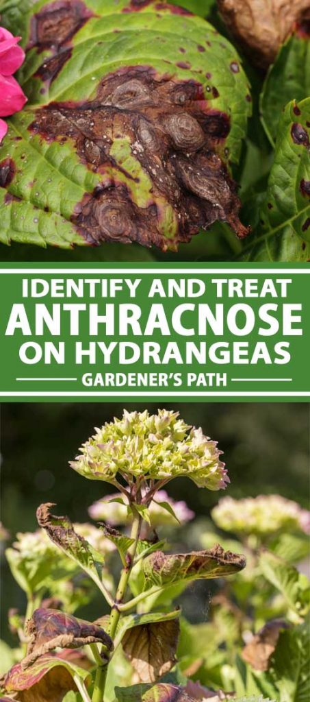 A collage of photos showing hydrangea plants with anthracnose symptoms.