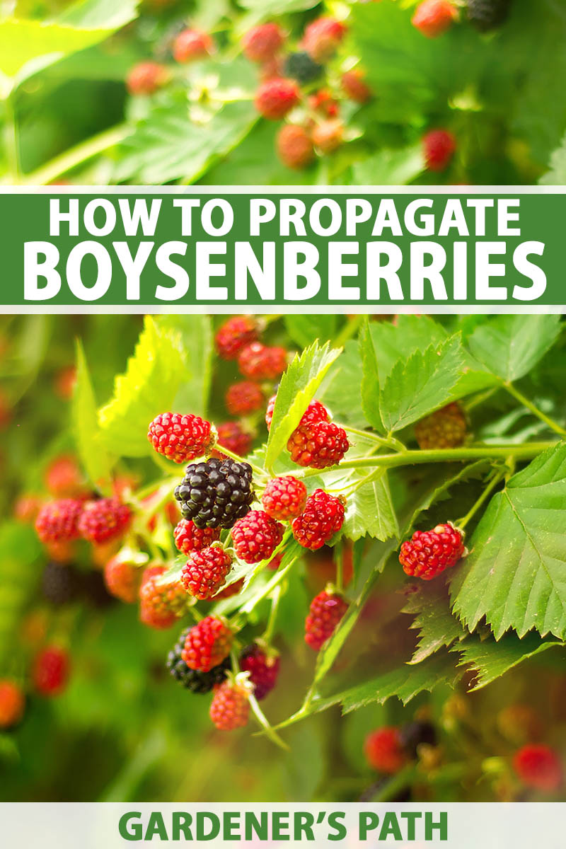A vertical close up picture of a bunch of boysenberries growing on the shrub in light sunshine. To the top and bottom of the frame is green and white text.