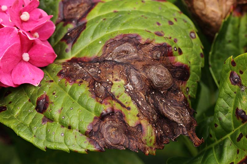 A close up of a hydrangea leaf suffering from a fungal infection called anthracnose causing dark brown lesions to appear on the foliage.