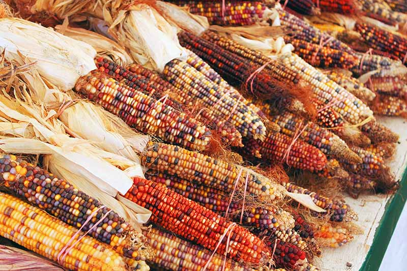A close up of dried, colorful corn set in a pile at a market, with dried leaves still attached.