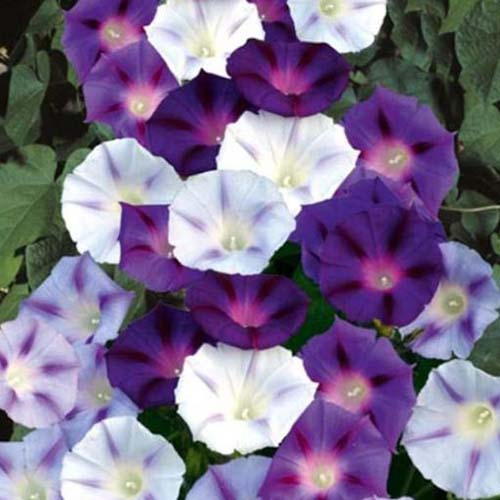 A close up of the purple, pink, and white bicolored flowers of morning glory 'Inkspots' with foliage in the background.