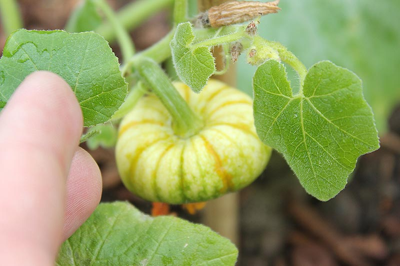 A close up of a tiny 'Jack be Little' pumpkin developing on the vine, pictured on a soft focus background with a hand on the left of the frame.