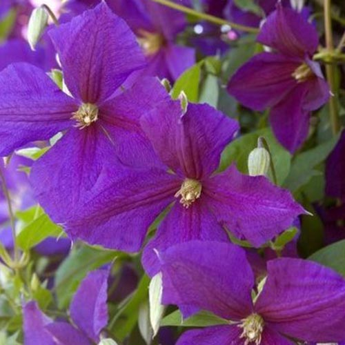 A close up of deep purple clematis 'Jackmanii' blooms growing in the garden, with green foliage in soft focus in the background.