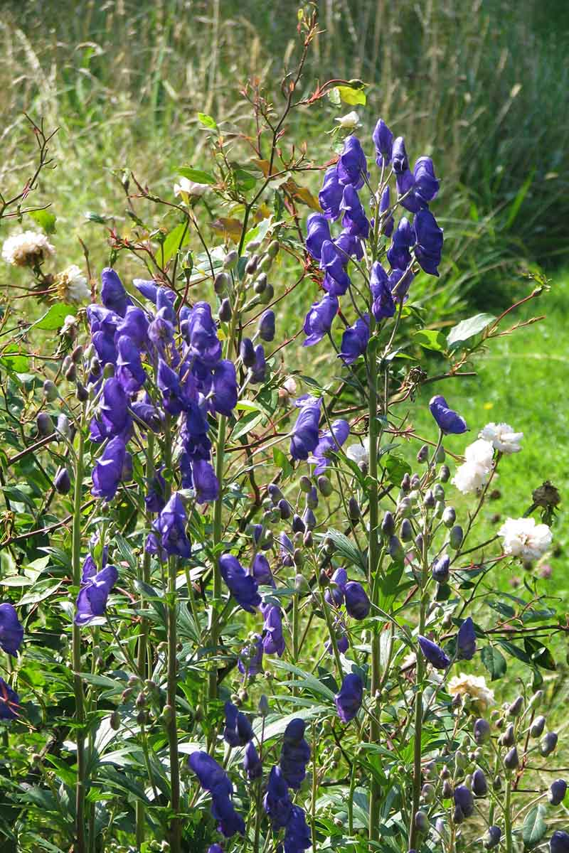 A vertical close up picture of Aconitum carmichaelii 'Kelmscott' with tall upright flower spikes, growing in the fall garden.