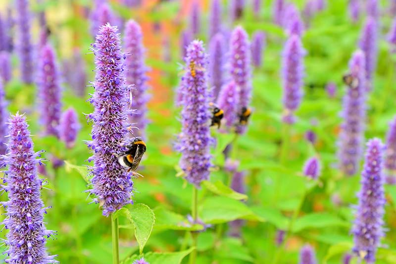 A close up of bees feeding from tall, upright purple flowers of Korean mint, with green foliage in soft focus in the background.