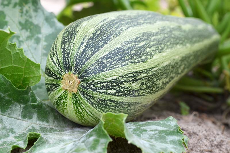 A close up of a large striped zucchini, ready to harvest, with foliage in the background.