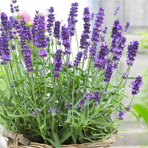 A close up of a lavender plant growing in a small wicker container, pictured on a soft focus background.
