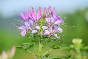 How to Grow Cleome (Spider Flower)