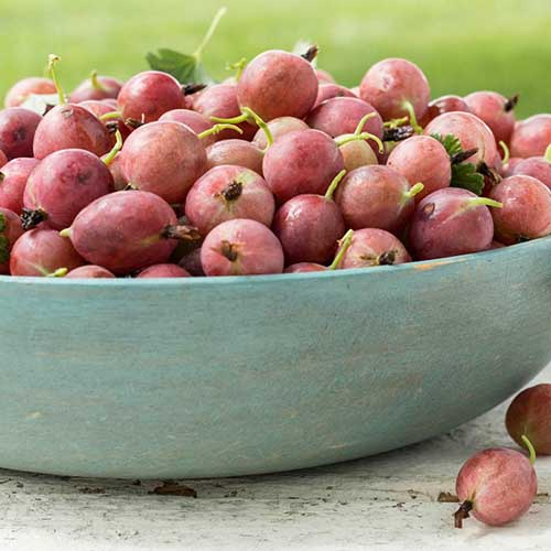 A close up of a blue ceramic bowl filled with light pink 'Little Ben' gooseberries, set on a wooden surface.