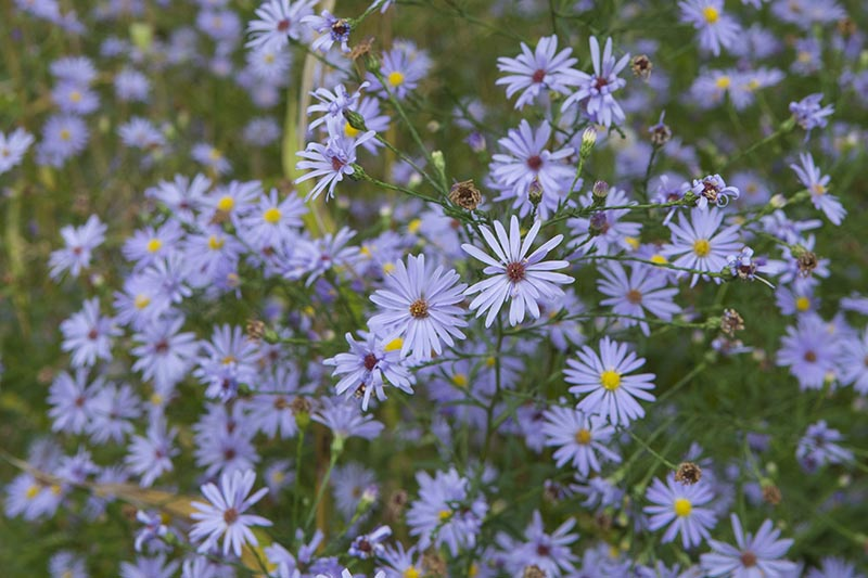 A close up of the tiny blue flowers of Aster alpinus, growing in the summer garden.