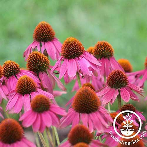 A close up of the delicate pink flowers of Echinacea purpurea 'Magnus' pictured on a green soft focus background. To the bottom right of the frame is a white circular logo and text.