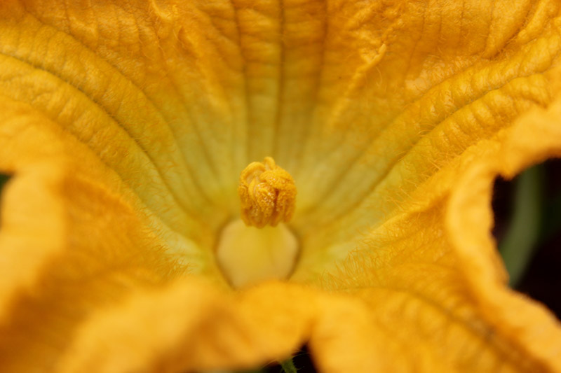 A close up of the stamen of a male pumpkin flower, clearly showing the pollen, surrounded by bright orange trumpet-shaped petals.